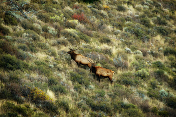 two elk far away in a field